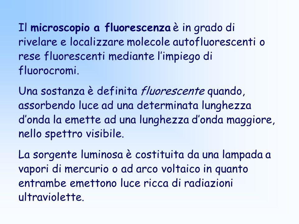 Il microscopio a fluorescenza è in grado di rivelare e localizzare molecole autofluorescenti o rese fluorescenti mediante limpiego di fluorocromi. Una