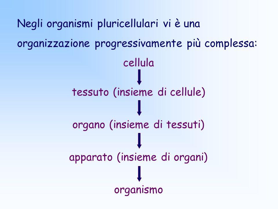 Negli organismi pluricellulari vi è una organizzazione progressivamente più complessa: cellula tessuto (insieme di cellule) organo (insieme di tessuti