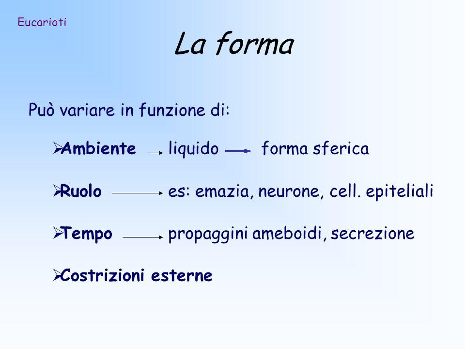 La forma Può variare in funzione di: Ambiente liquidoforma sferica Ruoloes: emazia, neurone, cell. epiteliali Tempopropaggini ameboidi, secrezione Cos