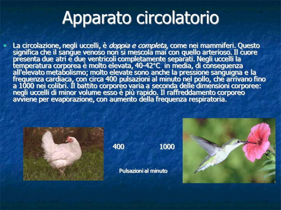 Apparato circolatorio La circolazione, negli uccelli, è doppia e completa, come nei mammiferi. Questo significa che il sangue venoso non si mescola ma