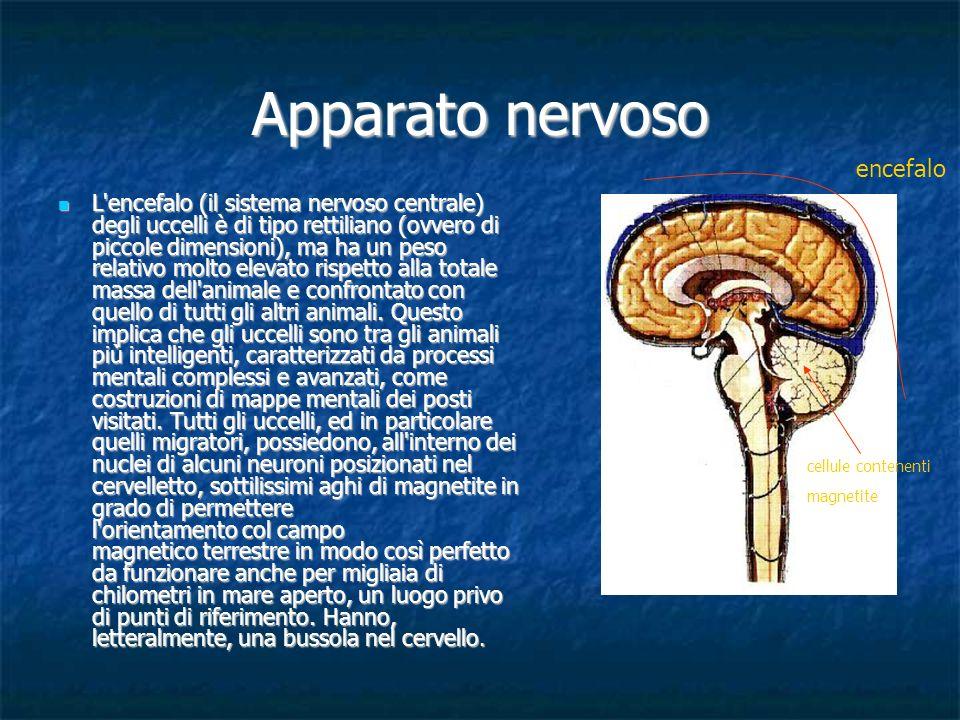 Apparato nervoso L'encefalo (il sistema nervoso centrale) degli uccelli è di tipo rettiliano (ovvero di piccole dimensioni),ma ha un peso relativo mol