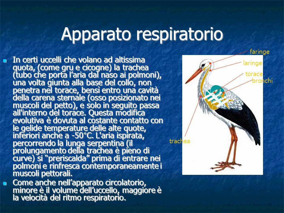 Apparato respiratorio In certi uccelli che volano ad altissima quota, (come gru e cicogne) la trachea (tubo che porta laria dal naso ai polmoni), una