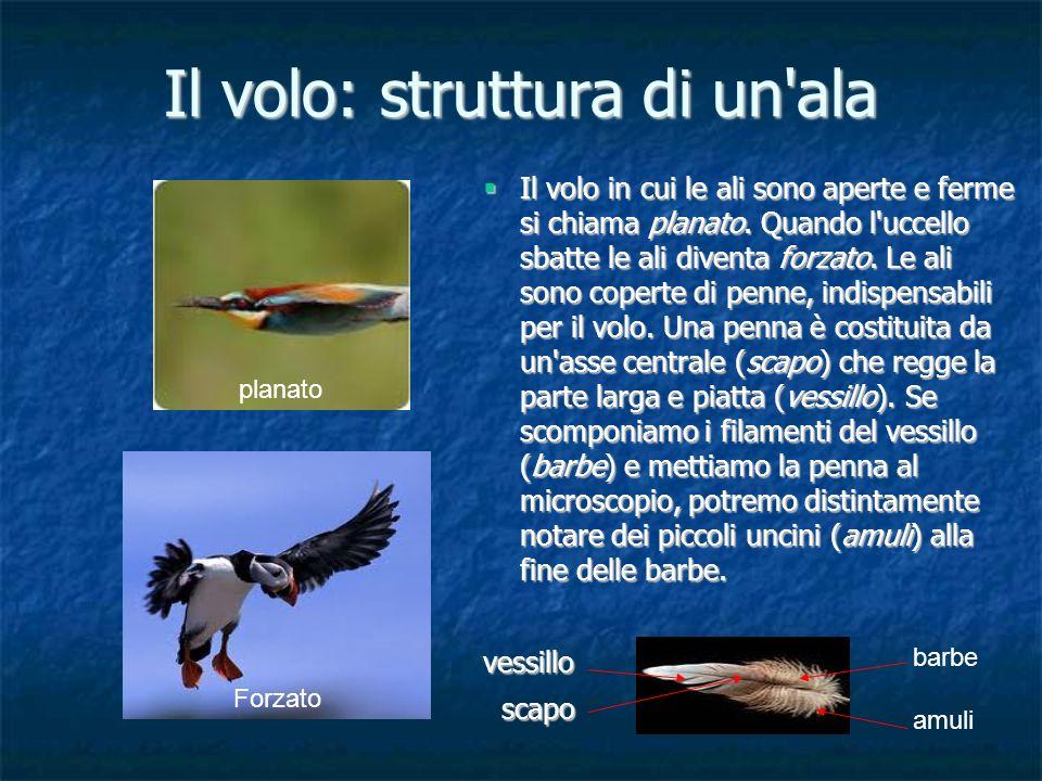 Il volo: struttura di un'ala planato Il volo in cui le ali sono aperte e ferme si chiama planato. Quando l'uccello sbatte le ali diventa forzato. Le a