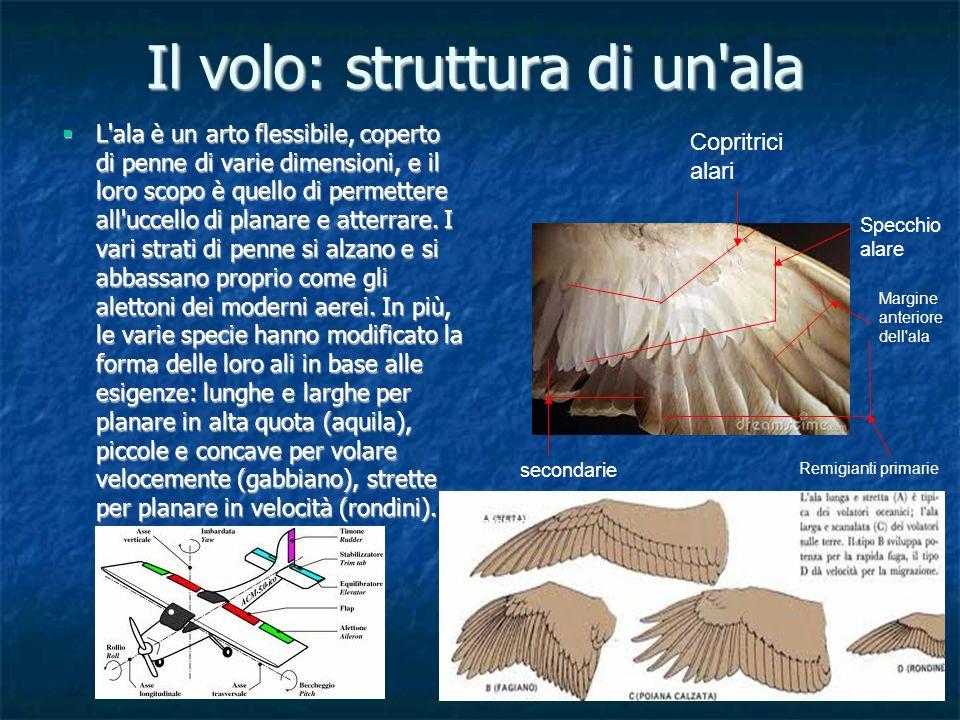 Il volo: struttura di un'ala L'ala è un arto flessibile, coperto di penne di varie dimensioni, e il loro scopo è quello di permettere all'uccello di p