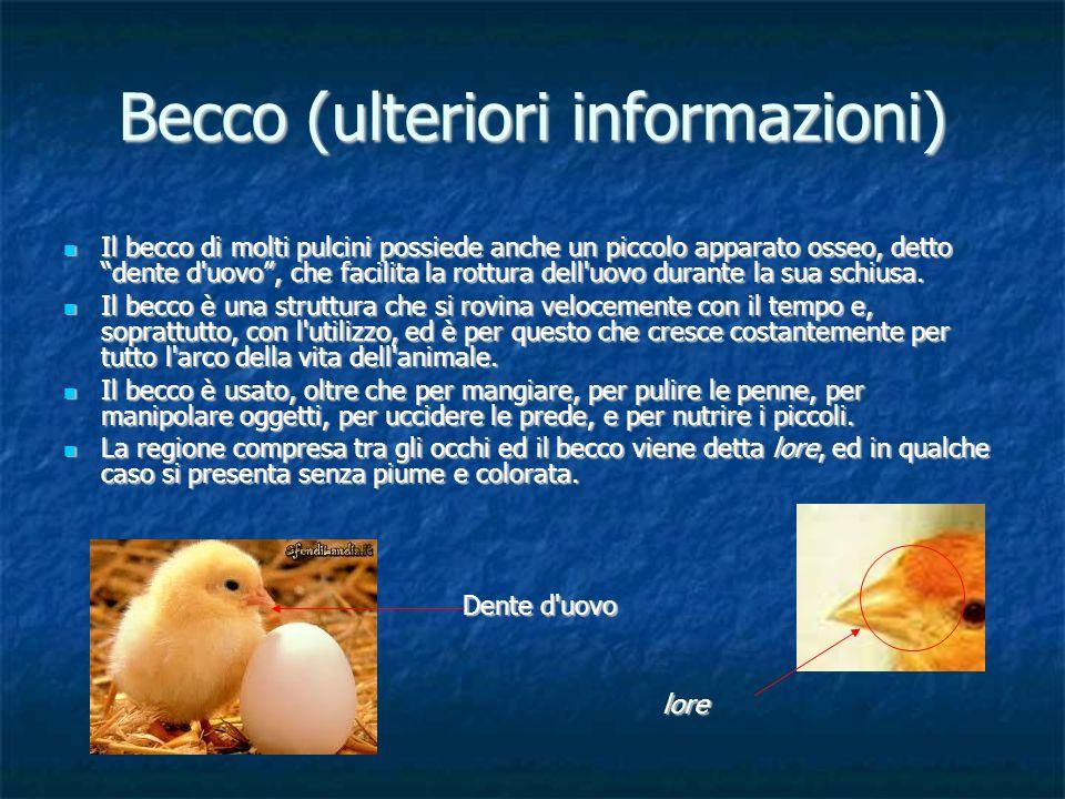 Becco (ulteriori informazioni) Il becco di molti pulcini possiede anche un piccolo apparato osseo, detto dente d'uovo, che facilita la rottura dell'uo