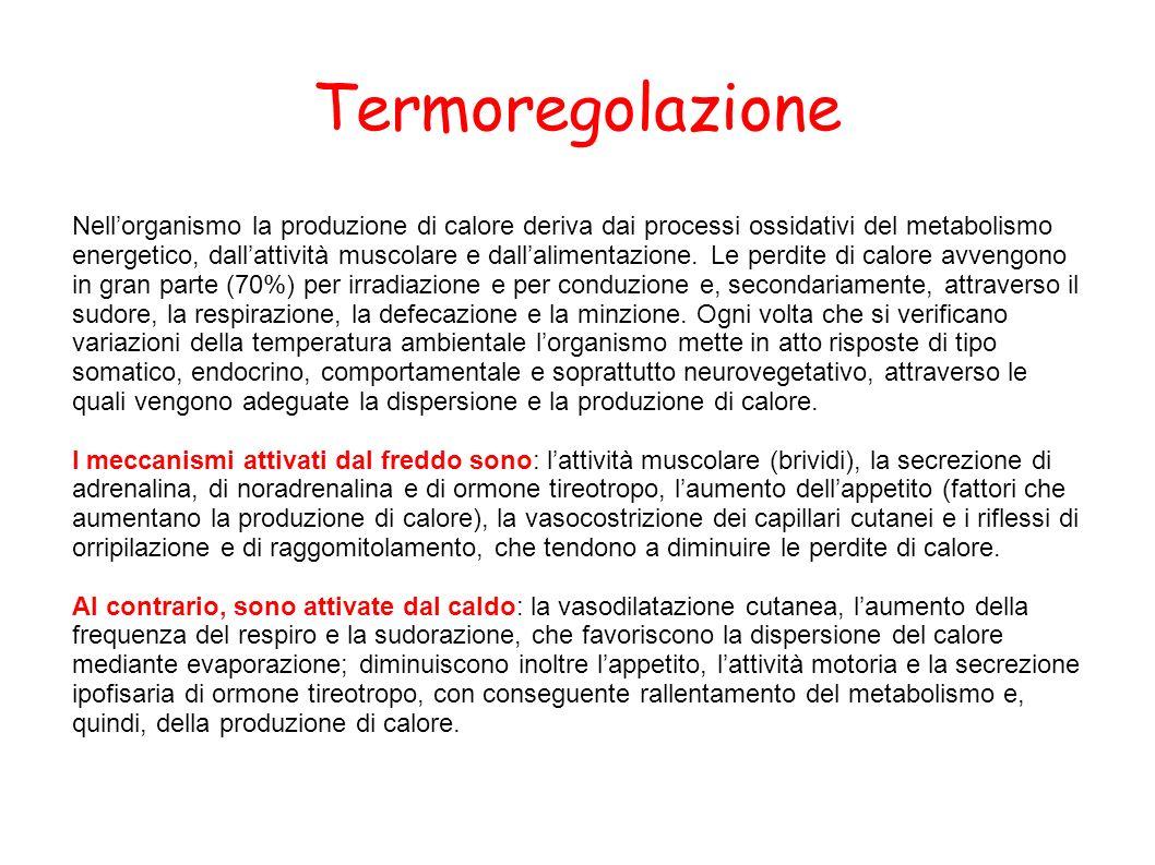 Termoregolazione Nellorganismo la produzione di calore deriva dai processi ossidativi del metabolismo energetico, dallattività muscolare e dallaliment