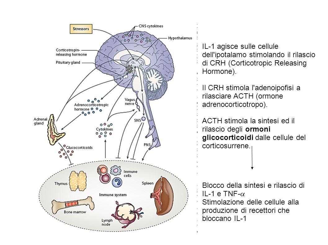 IL-1 agisce sulle cellule dell'ipotalamo stimolando il rilascio di CRH (Corticotropic Releasing Hormone). Il CRH stimola l'adenoipofisi a rilasciare A