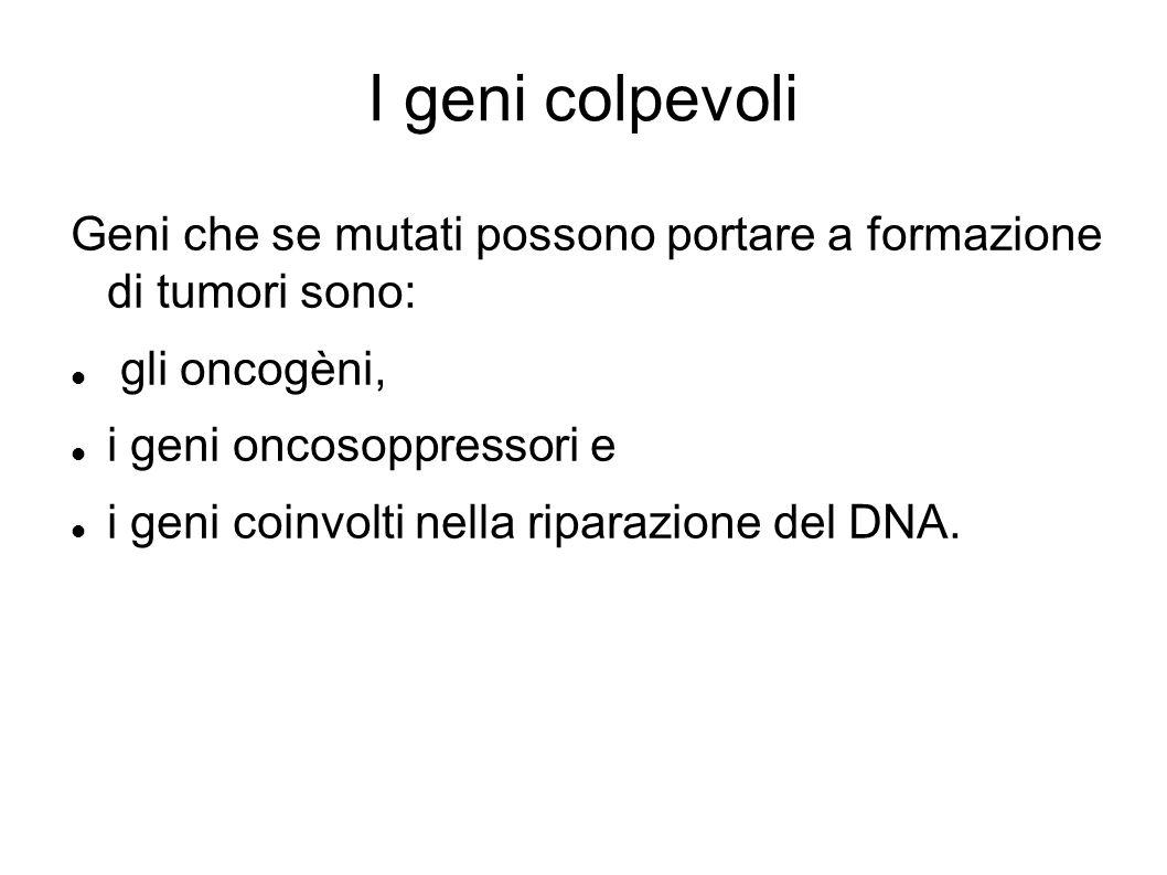 I geni colpevoli Geni che se mutati possono portare a formazione di tumori sono: gli oncogèni, i geni oncosoppressori e i geni coinvolti nella riparaz