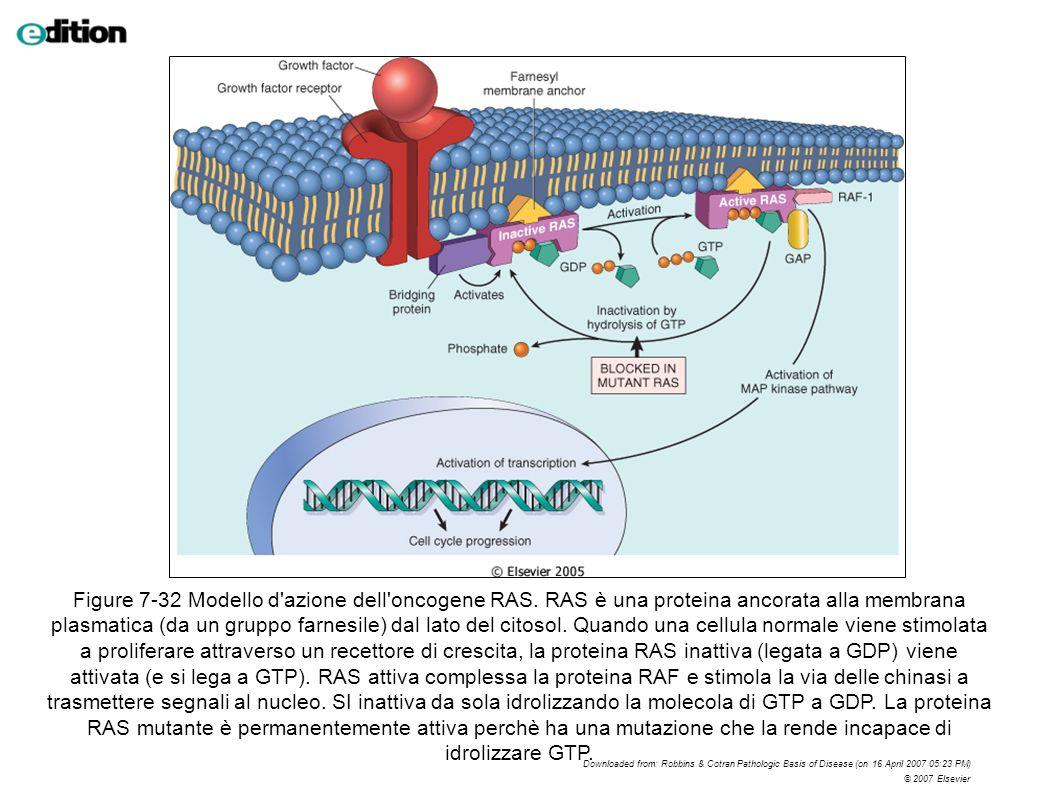 Figure 7-32 Modello d'azione dell'oncogene RAS. RAS è una proteina ancorata alla membrana plasmatica (da un gruppo farnesile) dal lato del citosol. Qu