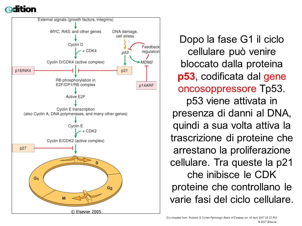 Dopo la fase G1 il ciclo cellulare può venire bloccato dalla proteina p53, codificata dal gene oncosoppressore Tp53. p53 viene attivata in presenza di
