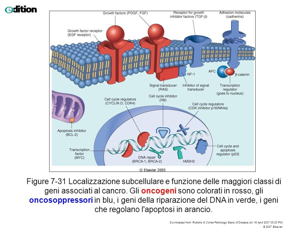 Figure 7-31 Localizzazione subcellulare e funzione delle maggiori classi di geni associati al cancro. Gli oncogeni sono colorati in rosso, gli oncosop