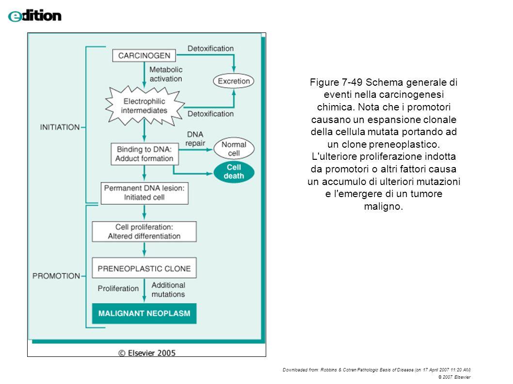 Figure 7-49 Schema generale di eventi nella carcinogenesi chimica. Nota che i promotori causano un espansione clonale della cellula mutata portando ad