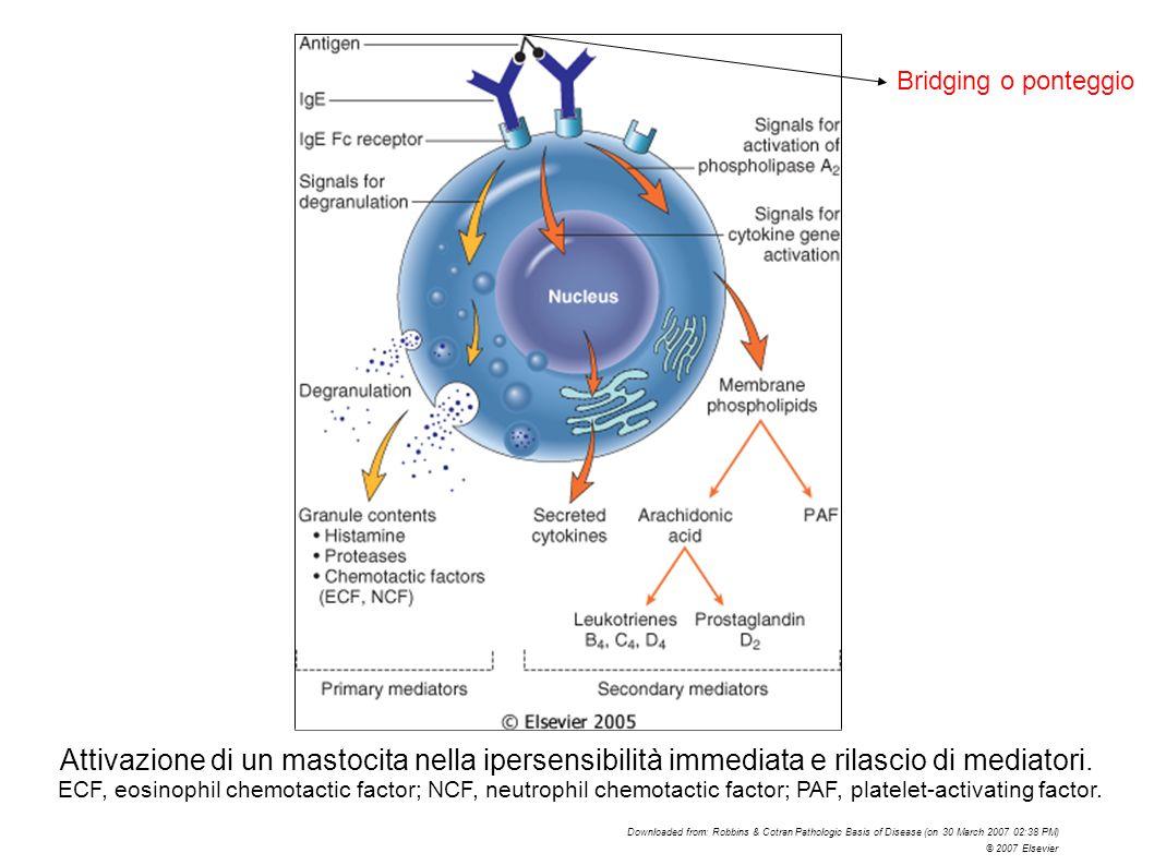 Attivazione di un mastocita nella ipersensibilità immediata e rilascio di mediatori. ECF, eosinophil chemotactic factor; NCF, neutrophil chemotactic f