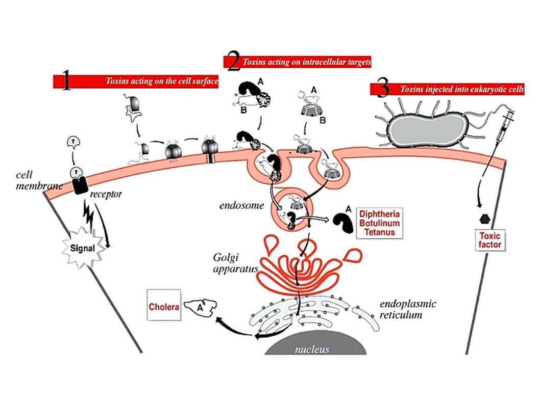 1) TOSSINE CHE AGISCONO SULLA SUPERFICIE CELLULARE - a livello della membrana plasmatica - a livello della membrana plasmatica 3 CLASSI: a) Tossine formanti PORI (Emolisine e Leucotossine) a) Tossine formanti PORI (Emolisine e Leucotossine) b) Tossine che causano danno alle membrane attraverso una attività enzimatica attività enzimatica c) Tossine con effetto detergente dul doppio strato lipidico