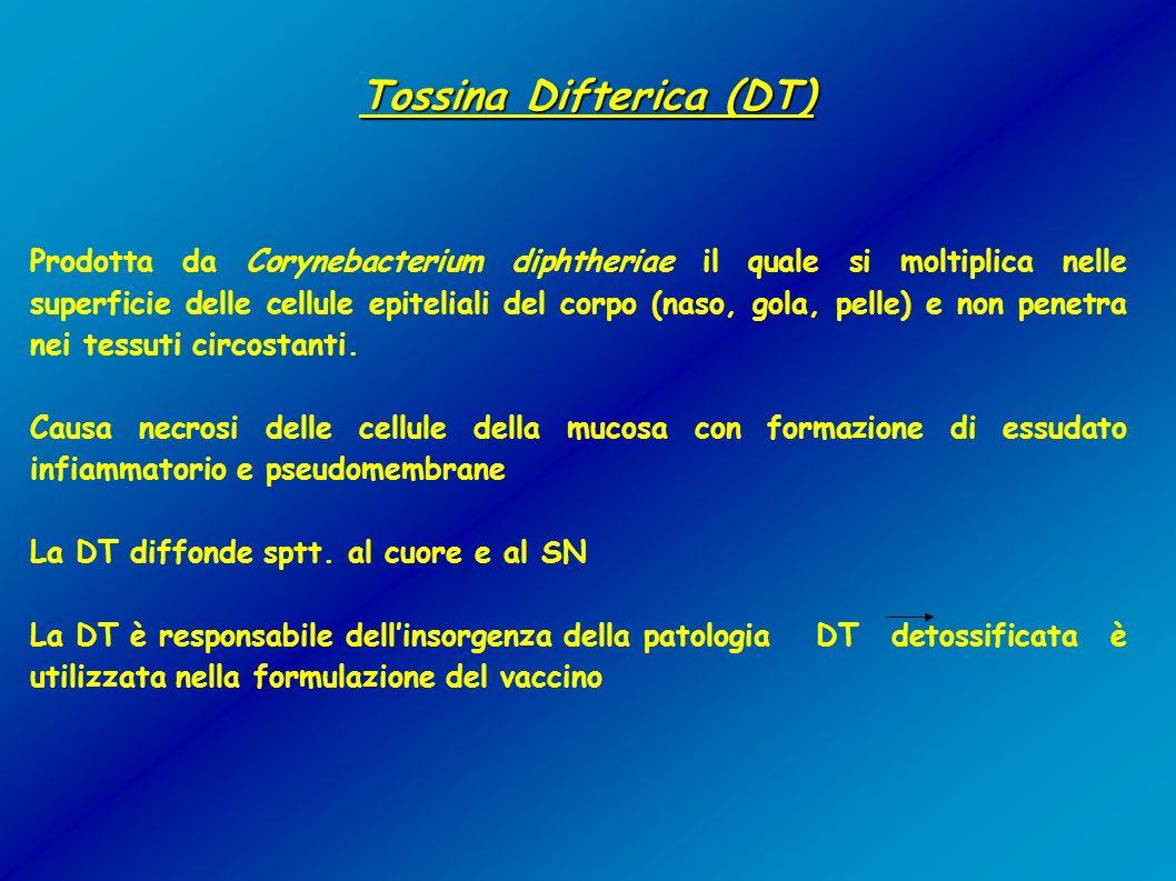 Tossina Difterica (DT) Tossina Difterica (DT) Prodotta da Corynebacterium diphtheriae il quale si moltiplica nelle superficie delle cellule epiteliali