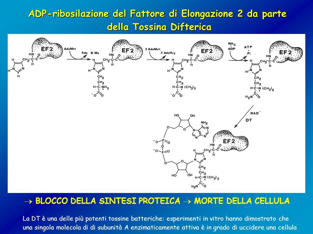 ADP-ribosilazione del Fattore di Elongazione 2 da parte della Tossina Difterica BLOCCO DELLA SINTESI PROTEICA MORTE DELLA CELLULA La DT è una delle pi
