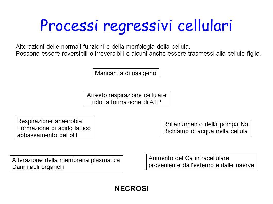 Processi regressivi cellulari Alterazioni delle normali funzioni e della morfologia della cellula. Possono essere reversibili o irreversibili e alcuni