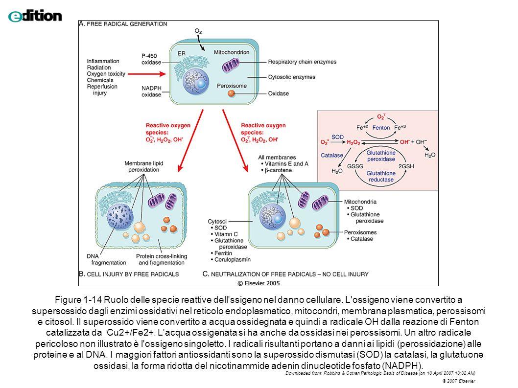 Figure 1-14 Ruolo delle specie reattive dell'ssigeno nel danno cellulare. L'ossigeno viene convertito a supersossido dagli enzimi ossidativi nel retic
