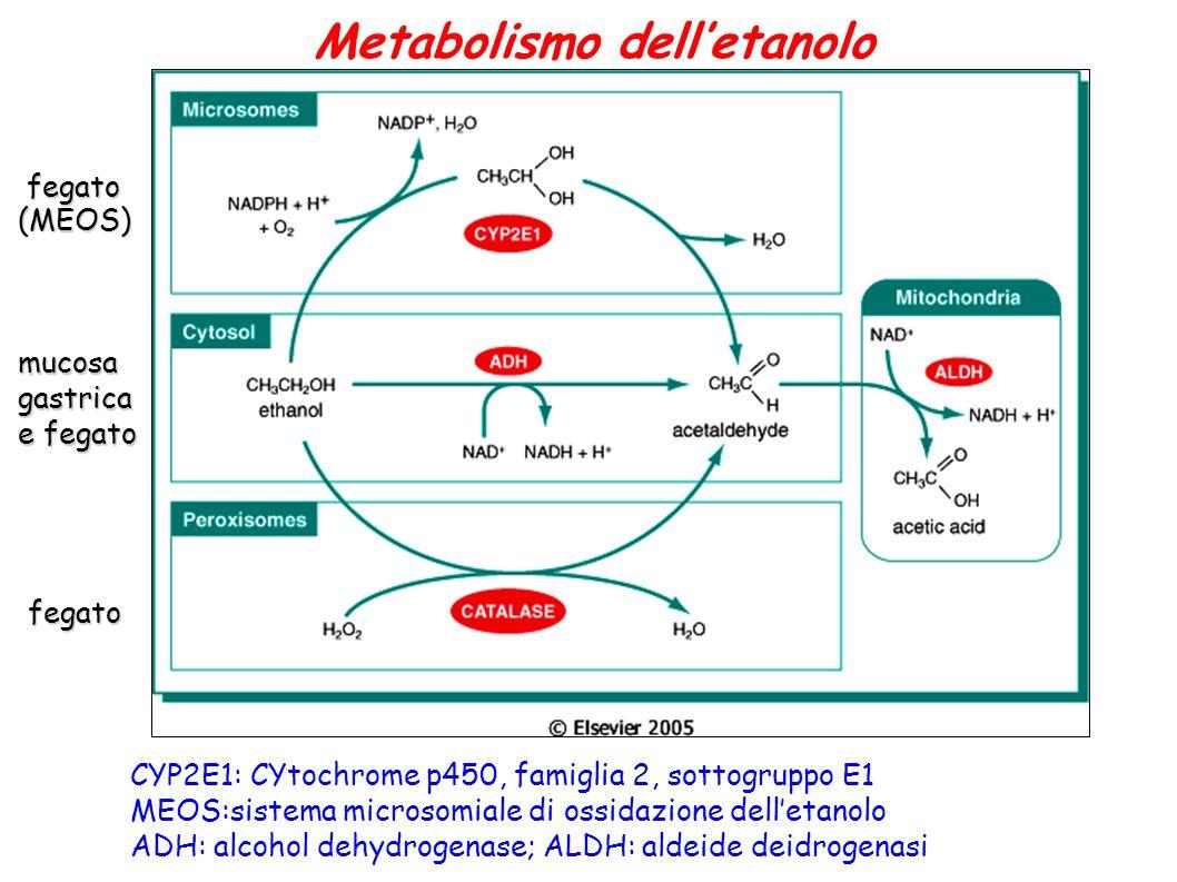 Metabolismo delletanolo CYP2E1: CYtochrome p450, famiglia 2, sottogruppo E1 MEOS:sistema microsomiale di ossidazione delletanolo ADH: alcohol dehydrog