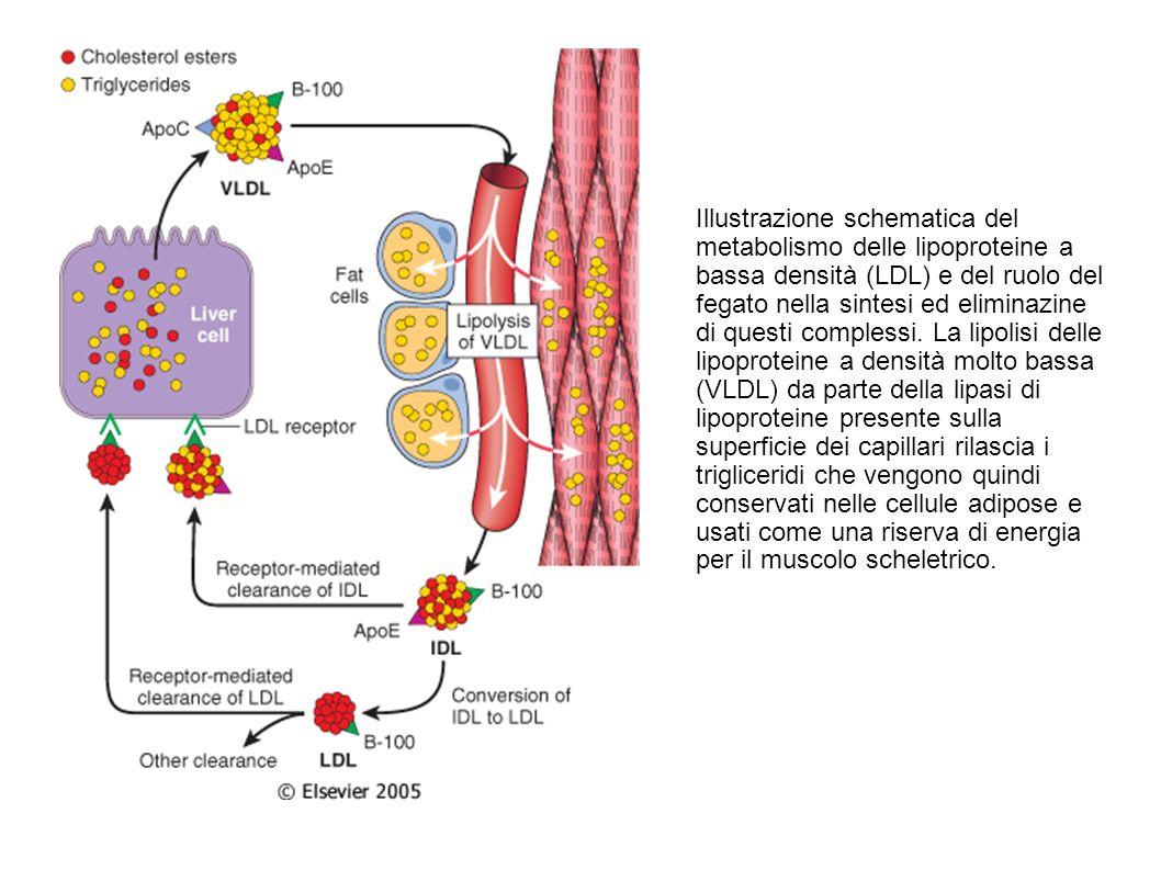 Illustrazione schematica del metabolismo delle lipoproteine a bassa densità (LDL) e del ruolo del fegato nella sintesi ed eliminazine di questi comple