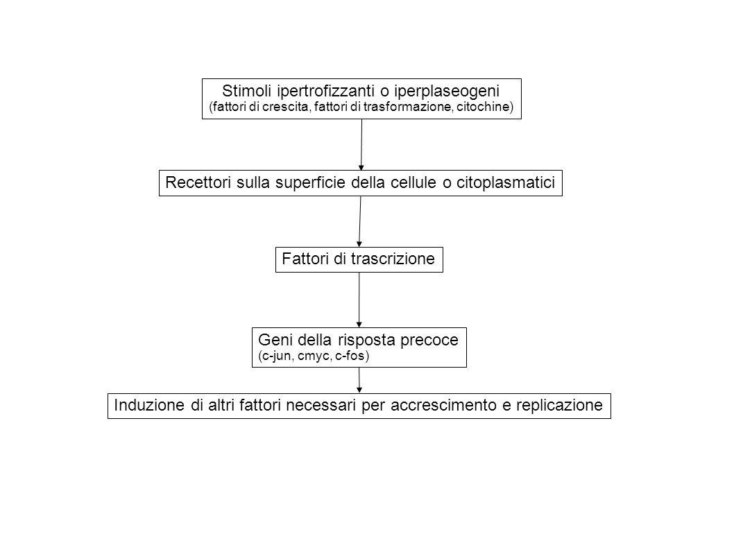 Stimoli ipertrofizzanti o iperplaseogeni (fattori di crescita, fattori di trasformazione, citochine) Recettori sulla superficie della cellule o citopl