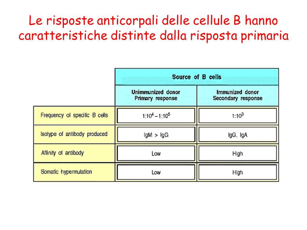 Le risposte anticorpali delle cellule B hanno caratteristiche distinte dalla risposta primaria
