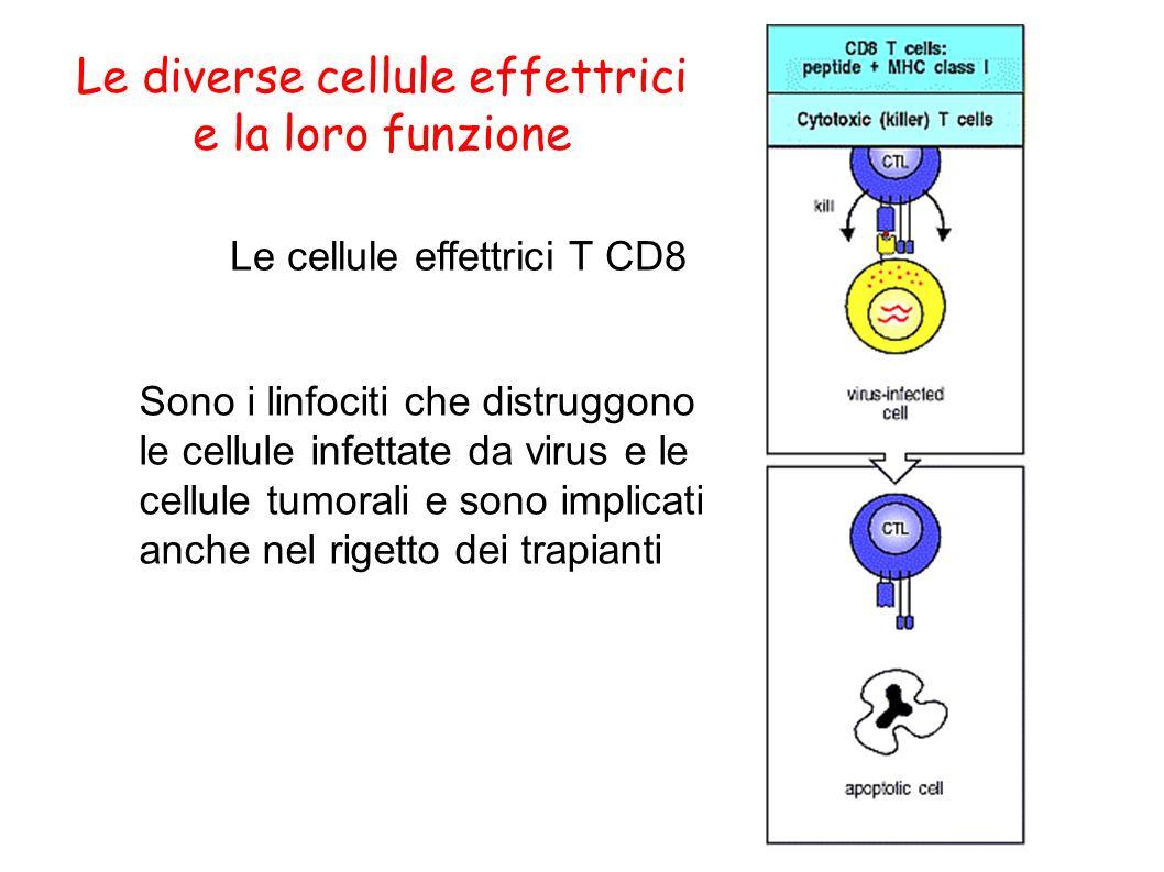 Le diverse cellule effettrici e la loro funzione Le cellule effettrici T CD8 Sono i linfociti che distruggono le cellule infettate da virus e le cellu