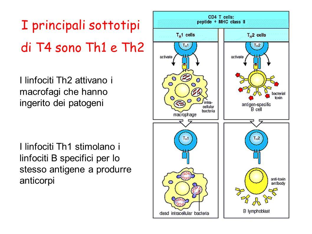 I principali sottotipi di T4 sono Th1 e Th2 I linfociti Th2 attivano i macrofagi che hanno ingerito dei patogeni I linfociti Th1 stimolano i linfociti