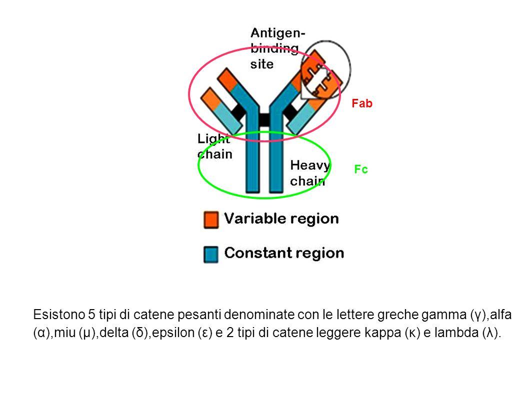 Esistono 5 tipi di catene pesanti denominate con le lettere greche gamma (γ),alfa (α),miu (μ),delta (δ),epsilon (ε) e 2 tipi di catene leggere kappa (