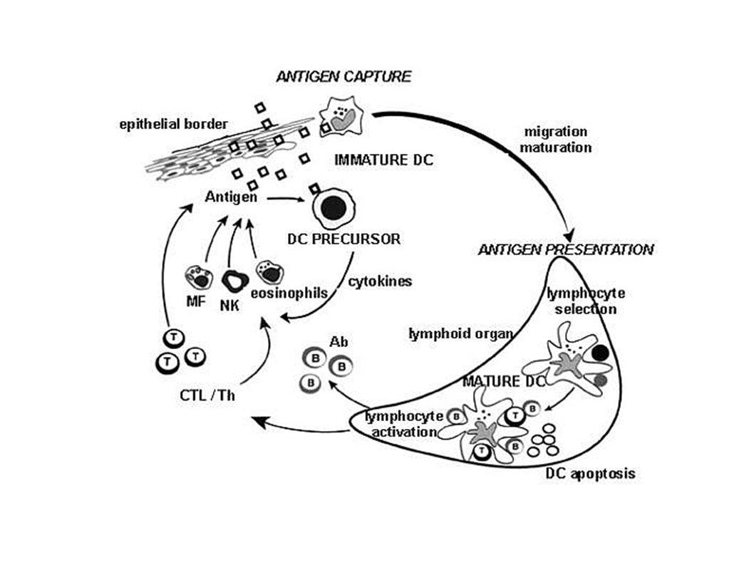 I linfociti si differenziano in cellule effettrici e cellule della memoria
