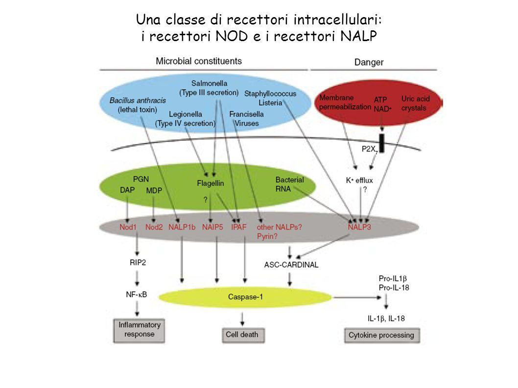 Una classe di recettori intracellulari: i recettori NOD e i recettori NALP