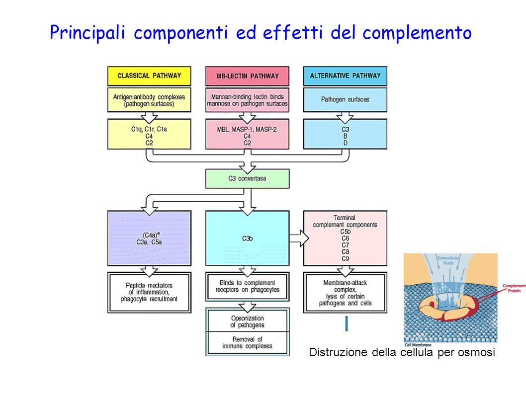 Principali componenti ed effetti del complemento Distruzione della cellula per osmosi