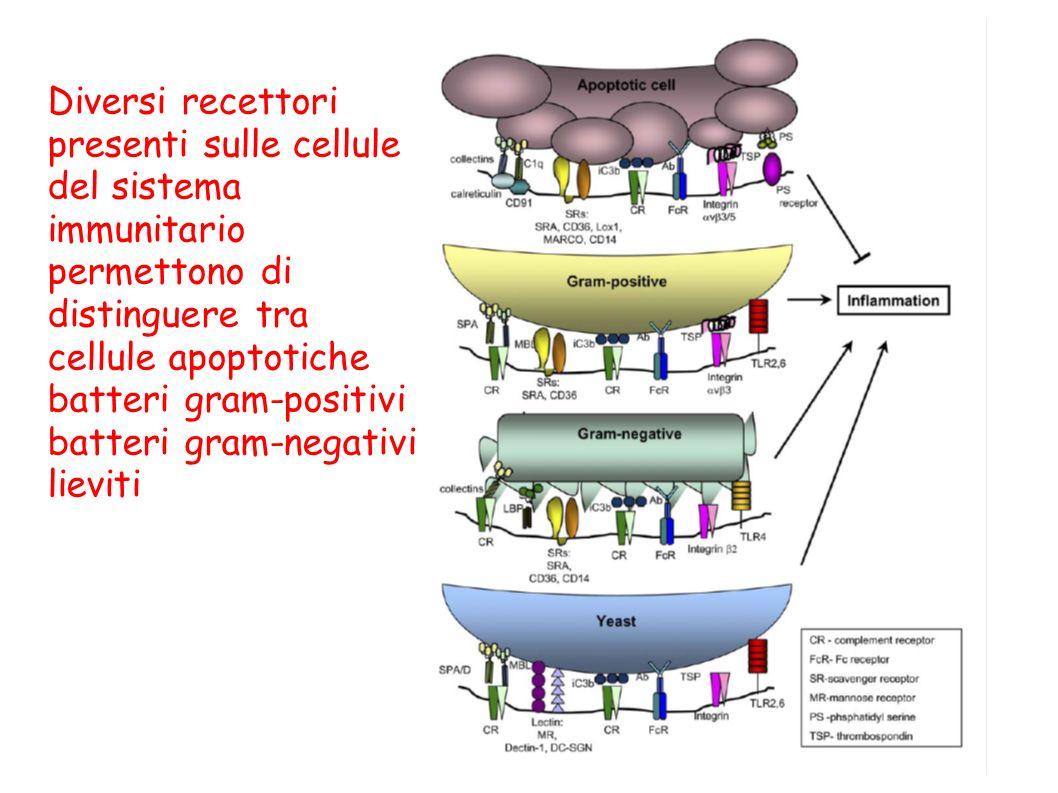 Diversi recettori presenti sulle cellule del sistema immunitario permettono di distinguere tra cellule apoptotiche batteri gram-positivi batteri gram-negativi lieviti