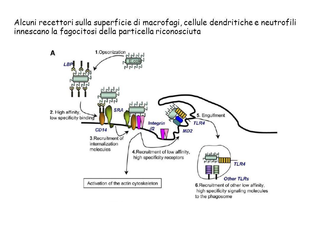 Alcuni recettori sulla superficie di macrofagi, cellule dendritiche e neutrofili innescano la fagocitosi della particella riconosciuta