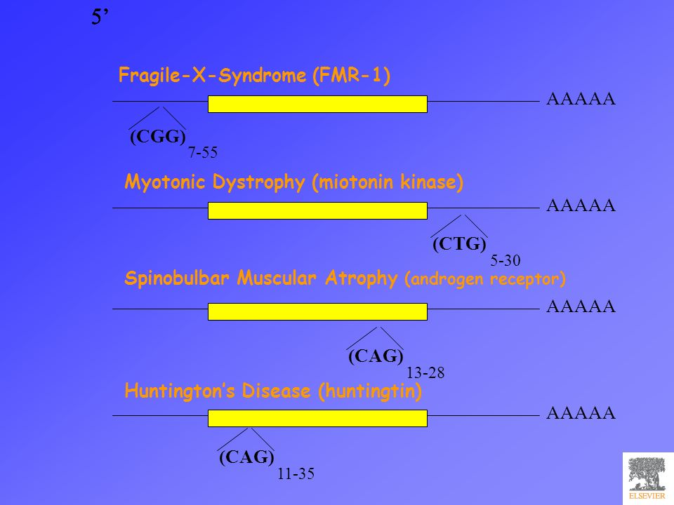 5 AAAAA 5 5 5 Myotonic Dystrophy (miotonin kinase) (CAG) 11-35 (CAG) 13-28 (CGG) 7-55 (CTG) 5-30 Spinobulbar Muscular Atrophy (androgen receptor) Hunt