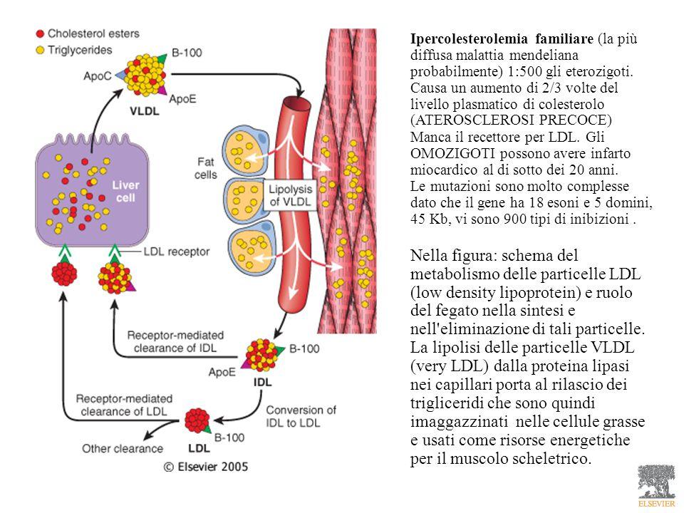 Ipercolesterolemia familiare (la più diffusa malattia mendeliana probabilmente) 1:500 gli eterozigoti. Causa un aumento di 2/3 volte del livello plasm