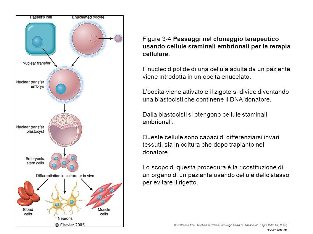 Figure 3-4 Passaggi nel clonaggio terapeutico usando cellule staminali embrionali per la terapia cellulare. Il nucleo dipolide di una cellula adulta d