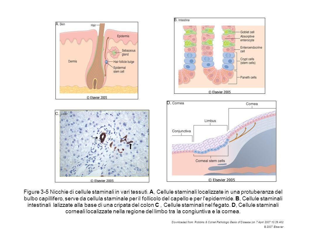 Figure 3-5 Nicchie di cellule staminali in vari tessuti. A, Cellule staminali localizzate in una protuberanza del bulbo capillifero, serve da cellula