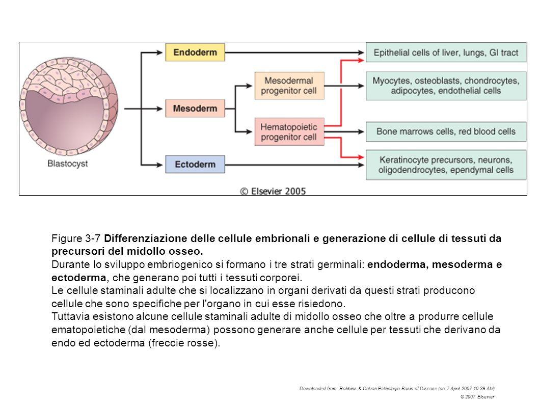 Figure 3-7 Differenziazione delle cellule embrionali e generazione di cellule di tessuti da precursori del midollo osseo. Durante lo sviluppo embrioge