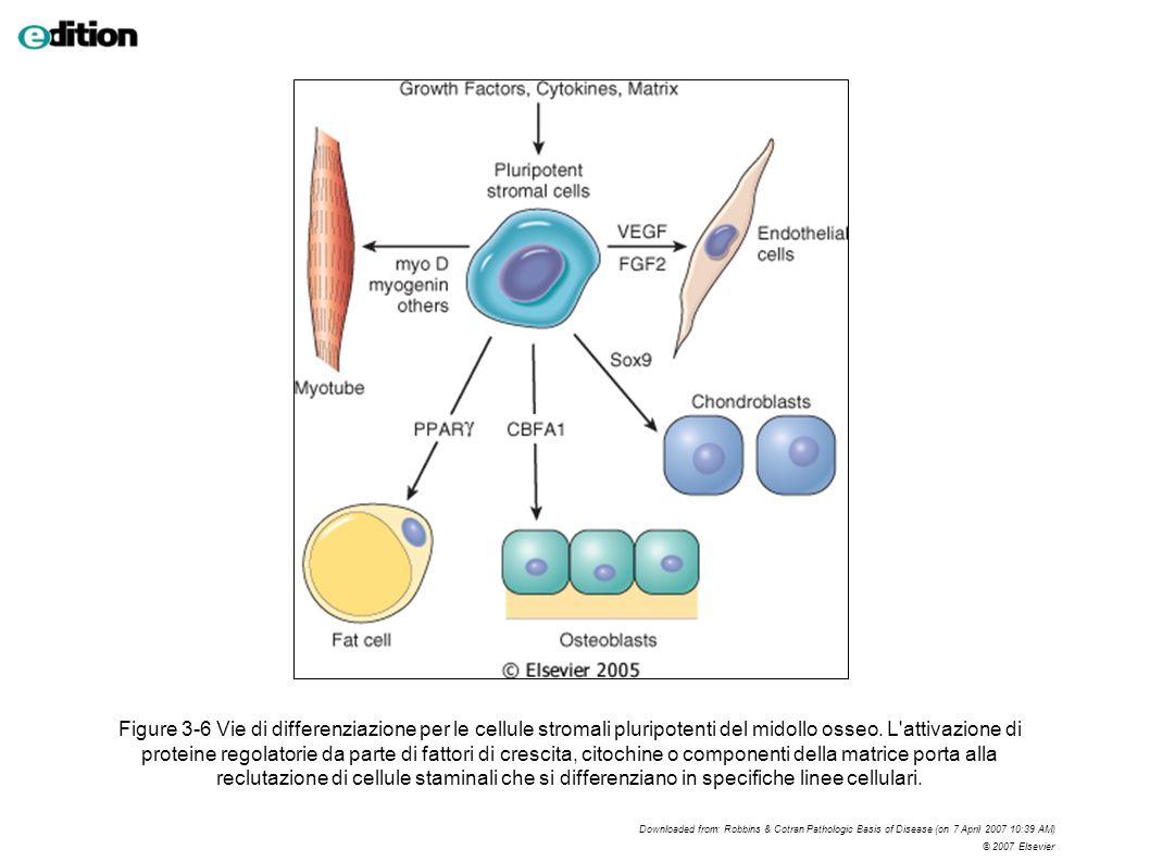 Figure 3-6 Vie di differenziazione per le cellule stromali pluripotenti del midollo osseo. L'attivazione di proteine regolatorie da parte di fattori d