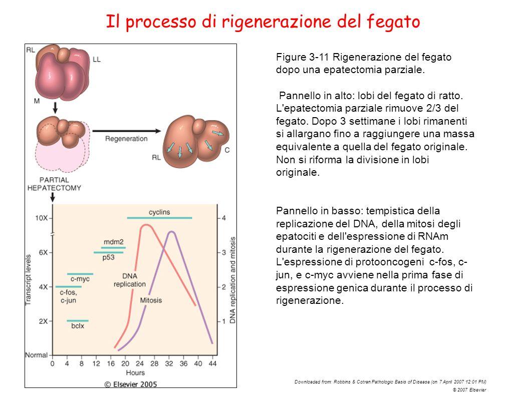 Figure 3-11 Rigenerazione del fegato dopo una epatectomia parziale. Pannello in alto: lobi del fegato di ratto. L'epatectomia parziale rimuove 2/3 del