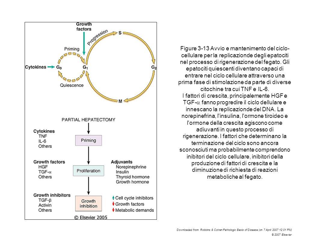 Figure 3-13 Avvio e mantenimento del ciclo- cellulare per la replicazionde degli epatociti nel processo di rigenerazione del fegato. Gli epatociti qui