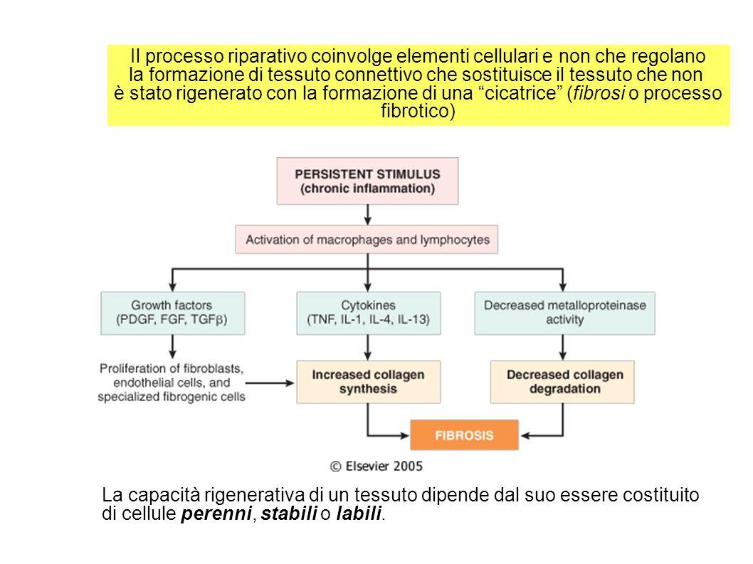 Guarigione di ferite con margini separati Caratterizzata dal fenomeno della contrazione della ferita.