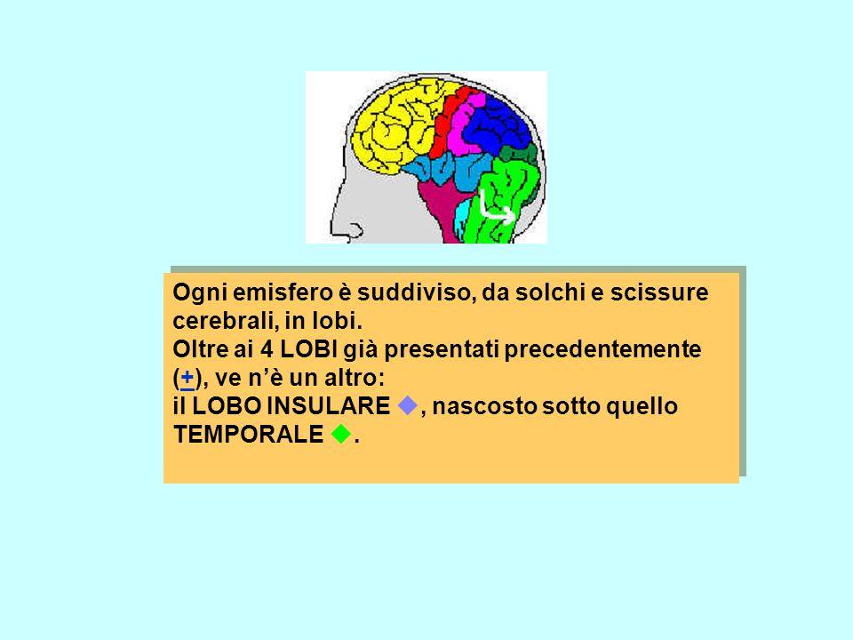 Ogni emisfero è suddiviso, da solchi e scissure cerebrali, in lobi. Oltre ai 4 LOBI già presentati precedentemente (+), ve nè un altro:+ il LOBO INSUL