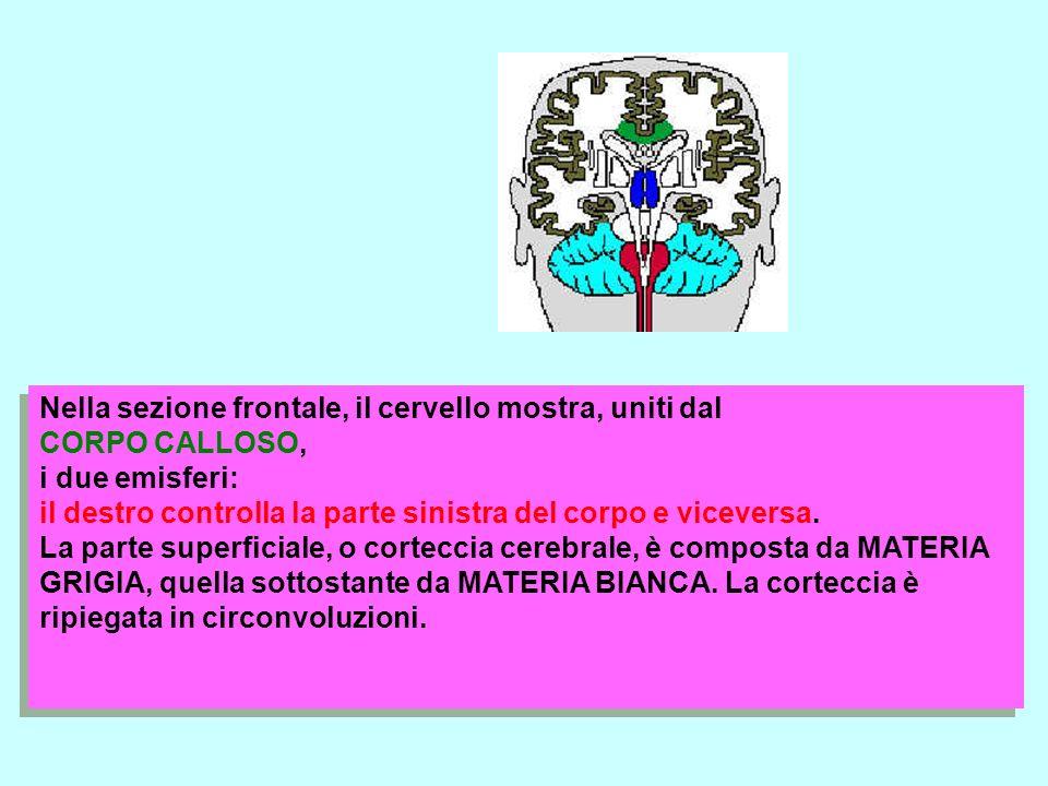 Nella sezione frontale, il cervello mostra, uniti dal CORPO CALLOSO, i due emisferi: il destro controlla la parte sinistra del corpo e viceversa. La p