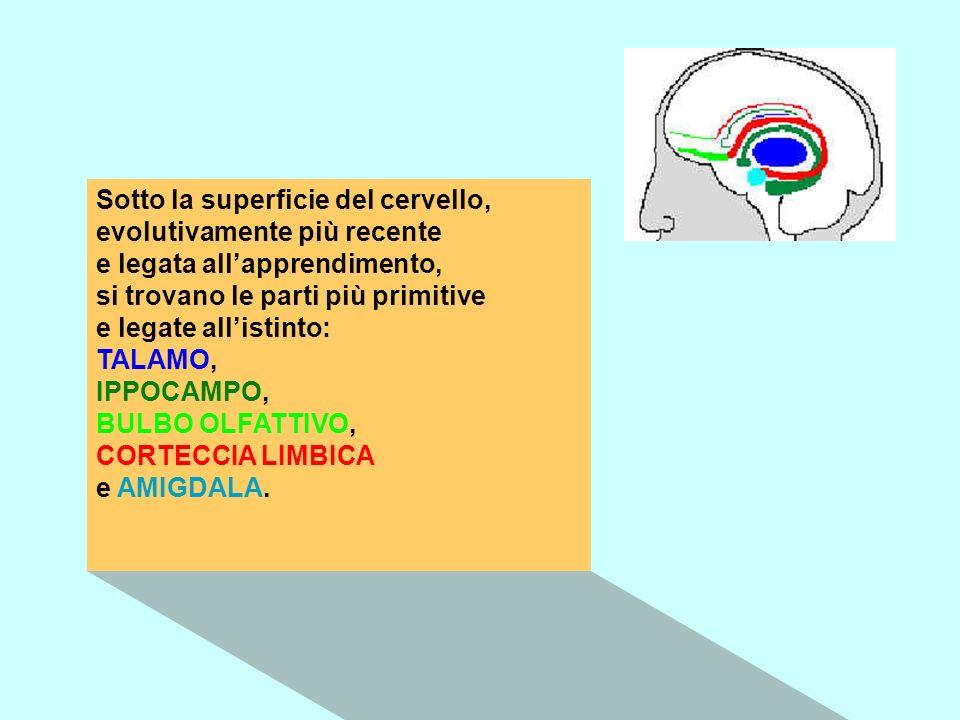 Sotto la superficie del cervello, evolutivamente più recente e legata allapprendimento, si trovano le parti più primitive e legate allistinto: TALAMO,