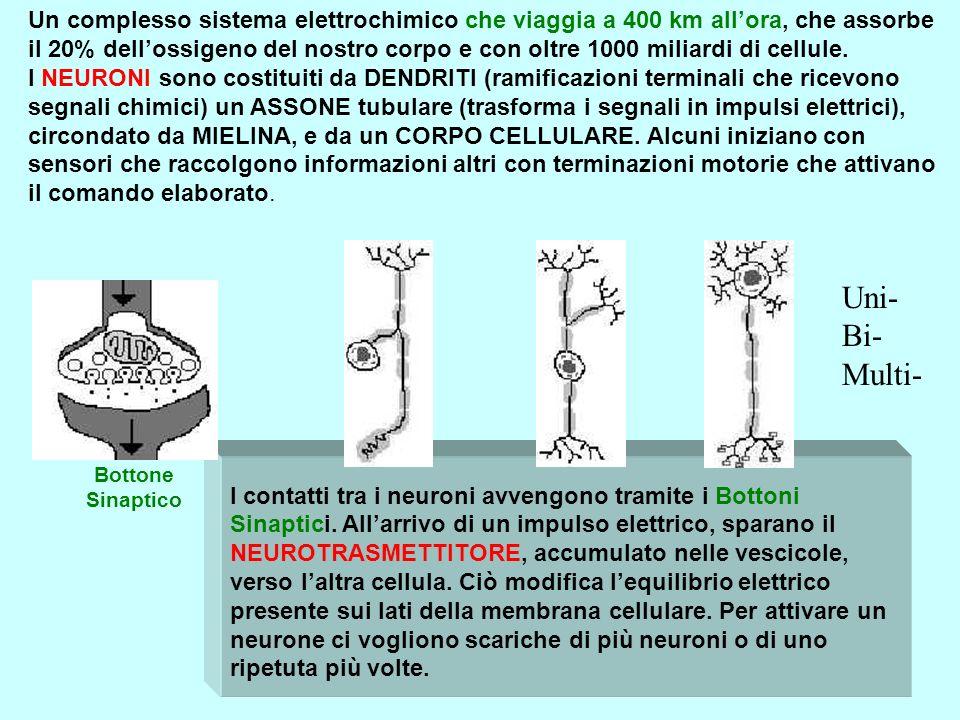 Bottone Sinaptico I contatti tra i neuroni avvengono tramite i Bottoni Sinaptici. Allarrivo di un impulso elettrico, sparano il NEUROTRASMETTITORE, ac