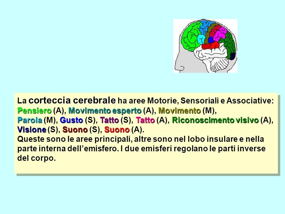 corteccia cerebrale La corteccia cerebrale ha aree Motorie, Sensoriali e Associative: PensieroMovimento espertoMovimento ParolaGustoTattoTatto Riconos