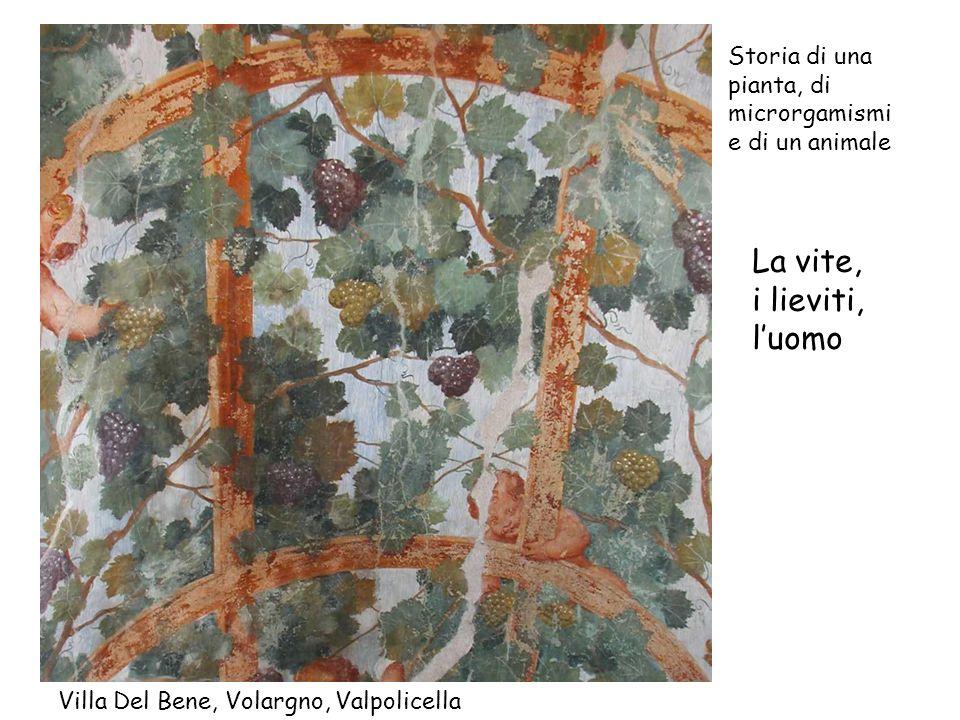Villa Del Bene, Volargno, Valpolicella Storia di una pianta, di microrgamismi e di un animale La vite, i lieviti, luomo