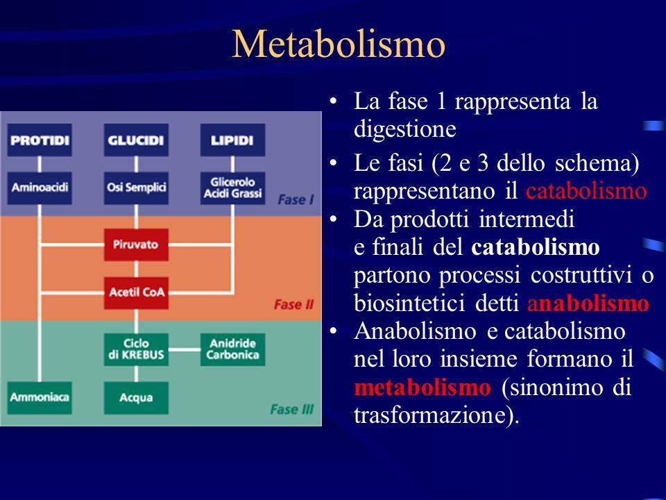 Metabolismo La fase 1 rappresenta la digestione Le fasi (2 e 3 dello schema) rappresentano il catabolismo Da prodotti intermedi e finali del catabolis